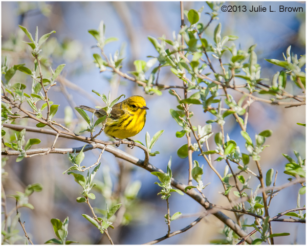 male prairie warbler eagle creek park indianapolis