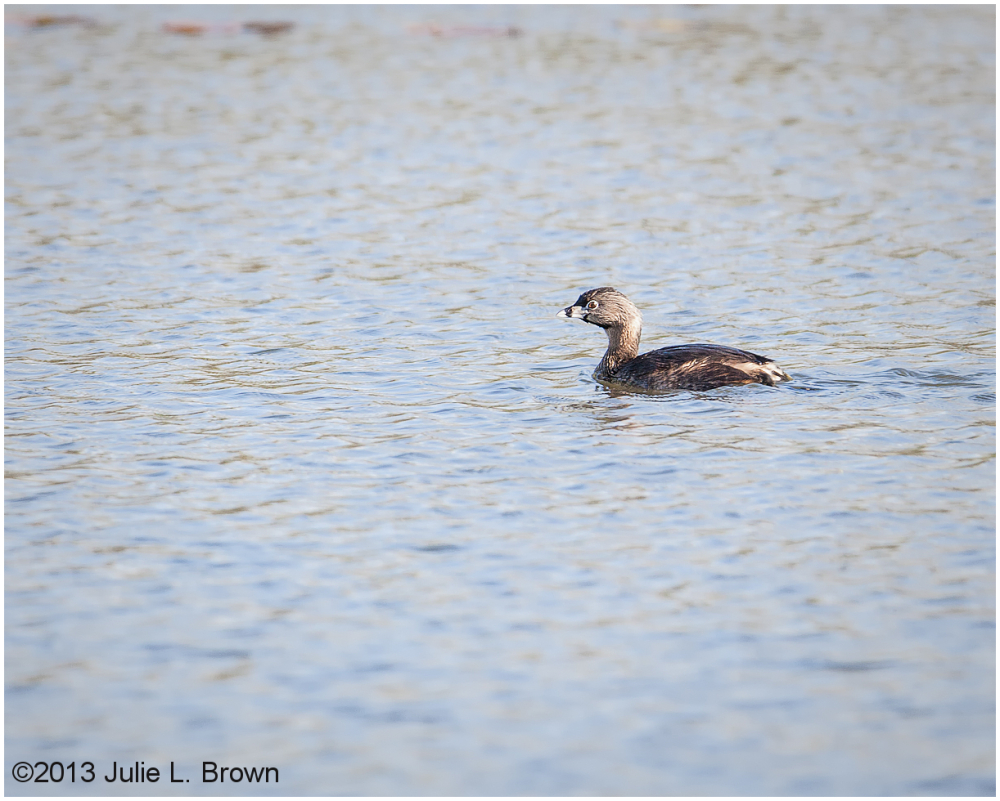 Pied-billed Grebe eagle creek park indianapolis