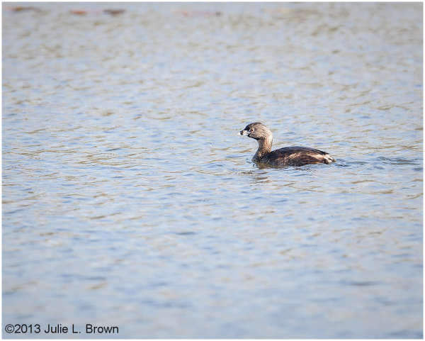 Pied billed Grebe (Podilymbus podiceps), adult