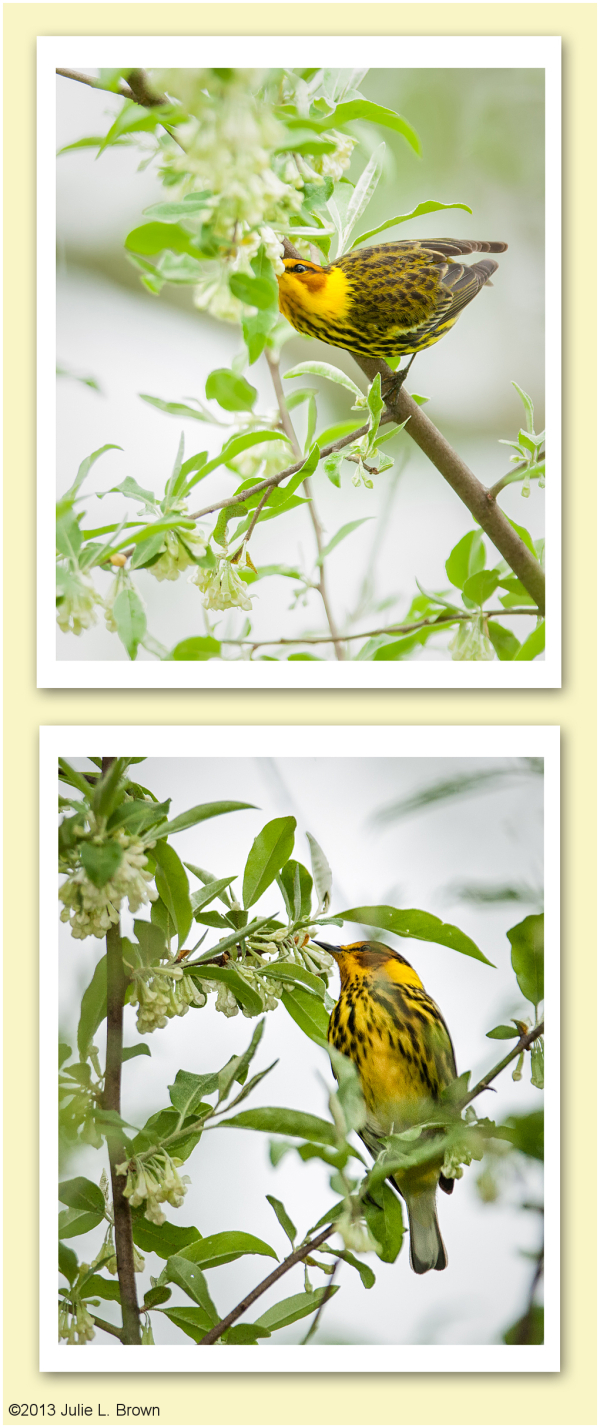 male cape may warbler in breeding plumage