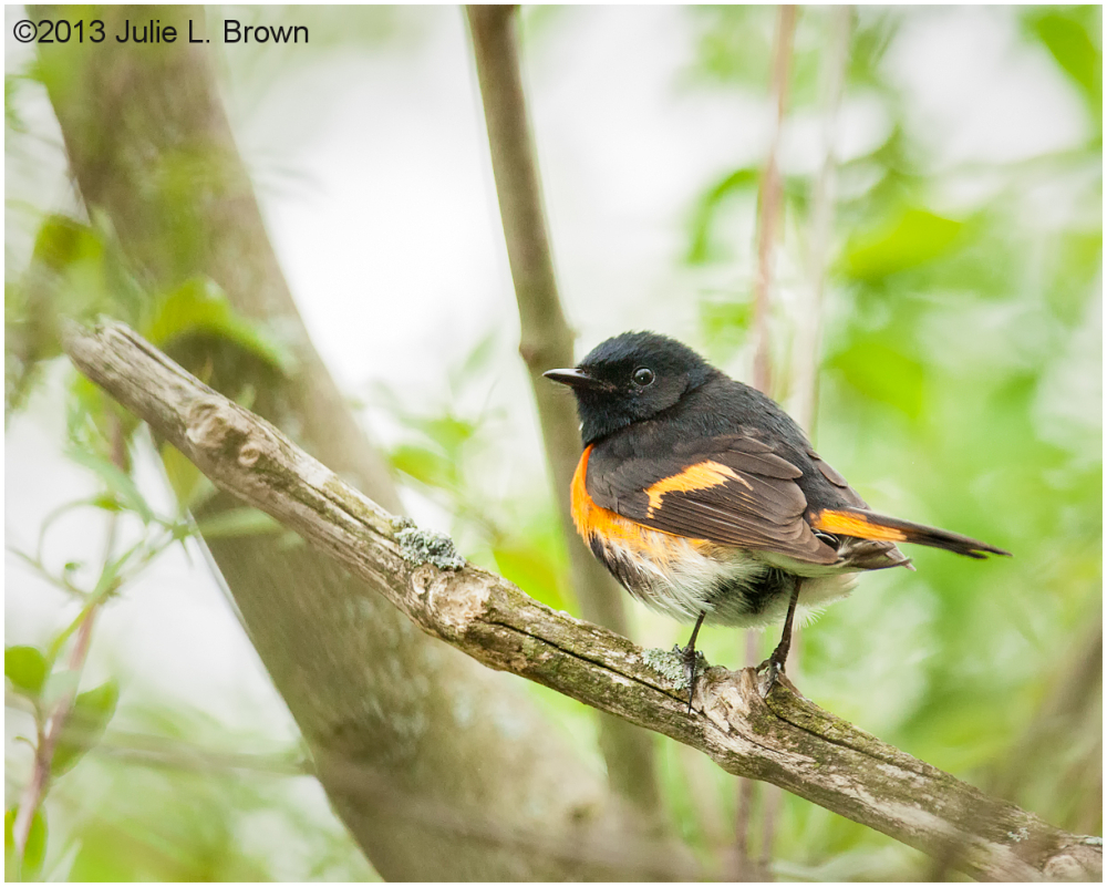 male american redstart breeding plumage