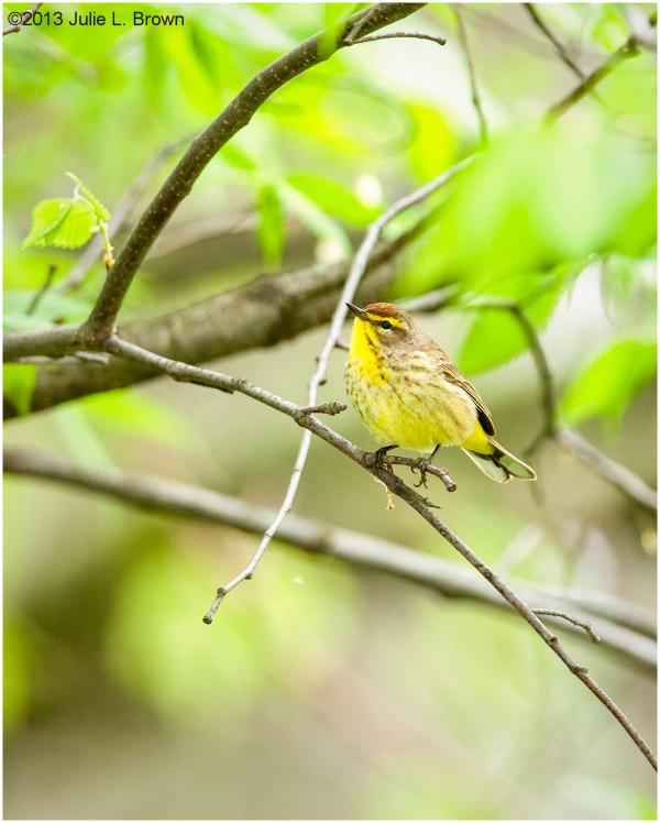 Palm Warbler, adult