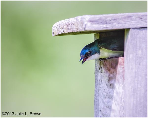 male tree swallow in nest box