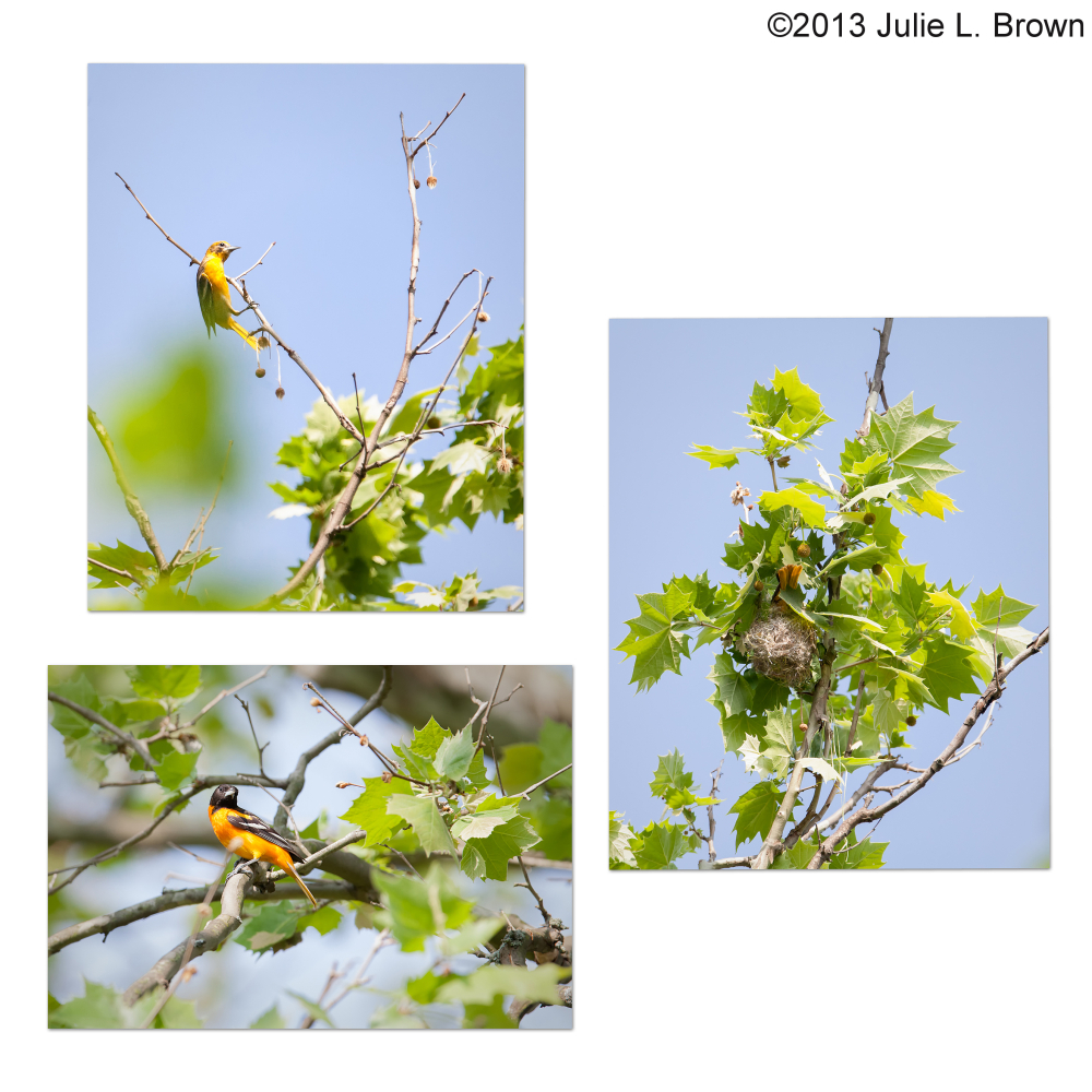 baltimore oriole collage eagle creek park