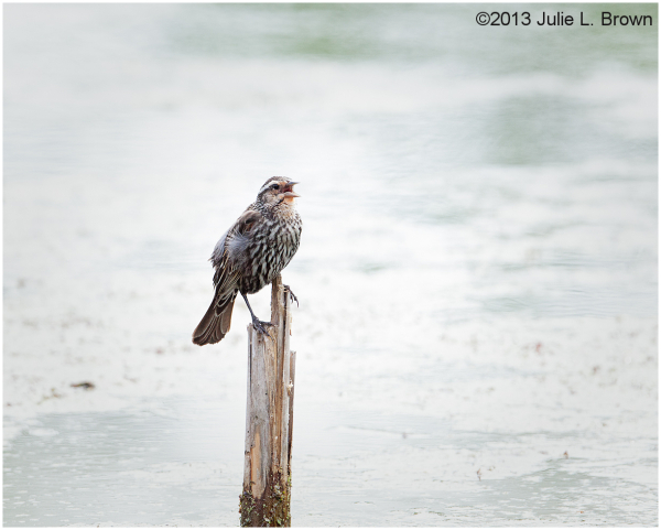 female red-winged blackbird calling from a cattail