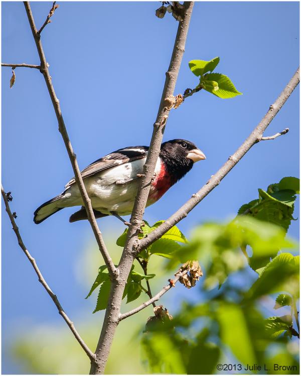 male rose-breasted grosbeak fort harrison SP