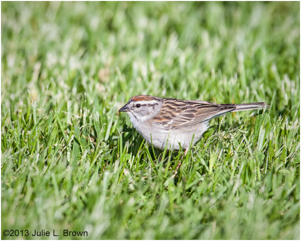 chipping sparrow at fort harrison state park