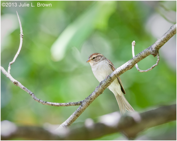 fall plumage chipping sparrow indianapolis