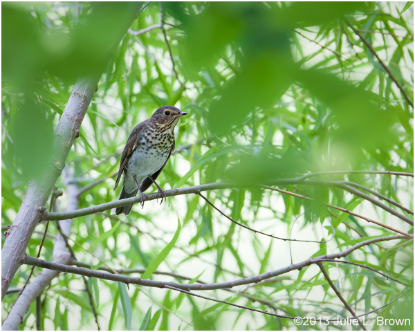 swainson's thrush eagle creek park indianapolis