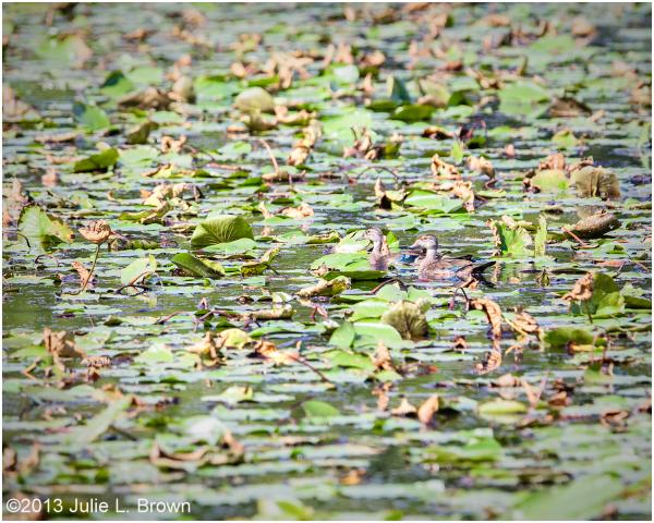 pair of wood ducks in pond eagle creek park