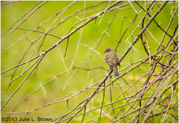 willow flycatcher fort harrison state park indiana