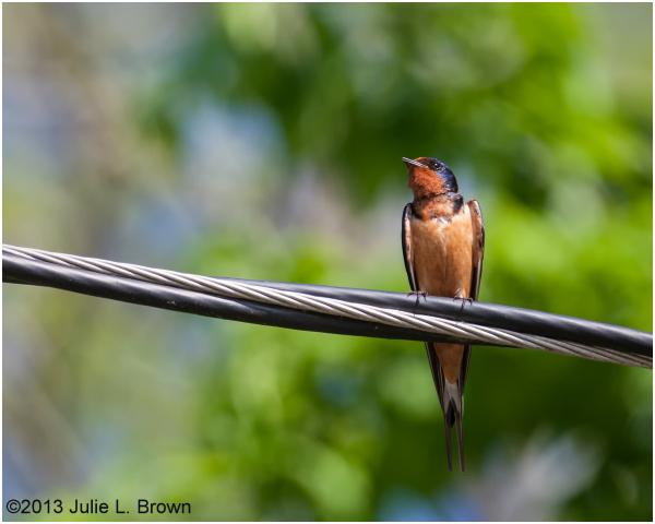 barn swallow male at stone head nature preserve