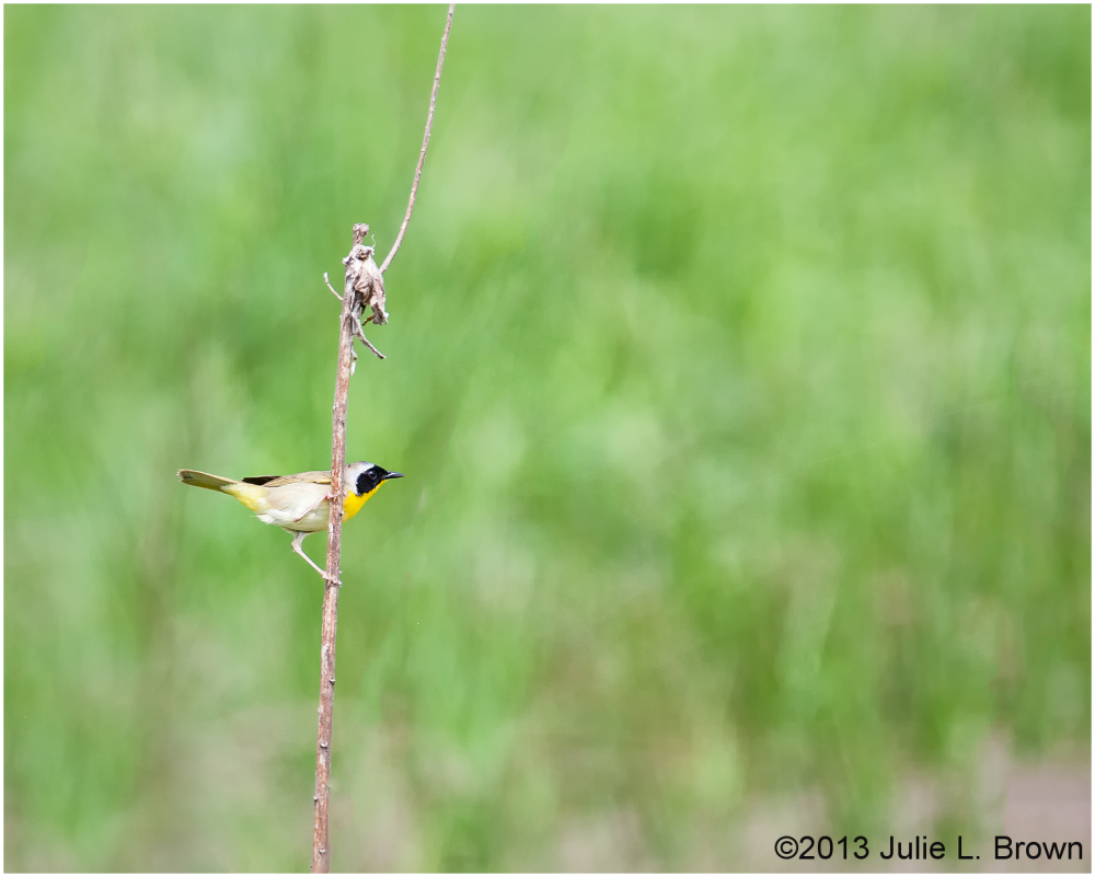 male common yellowthroat warbler stone head nature