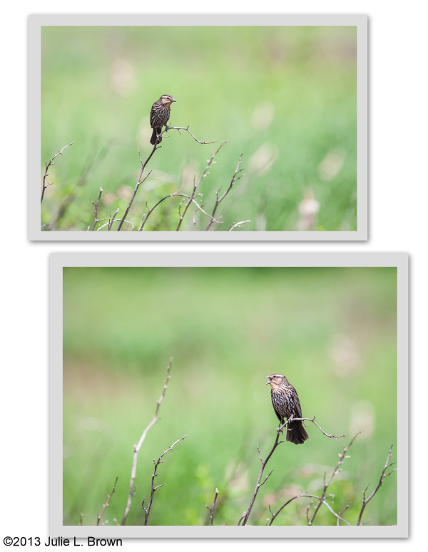 female red-winged blackbird collage stone head NP