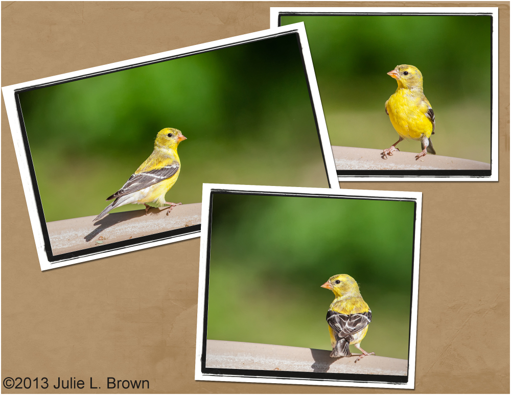male american goldfinch at bird bath