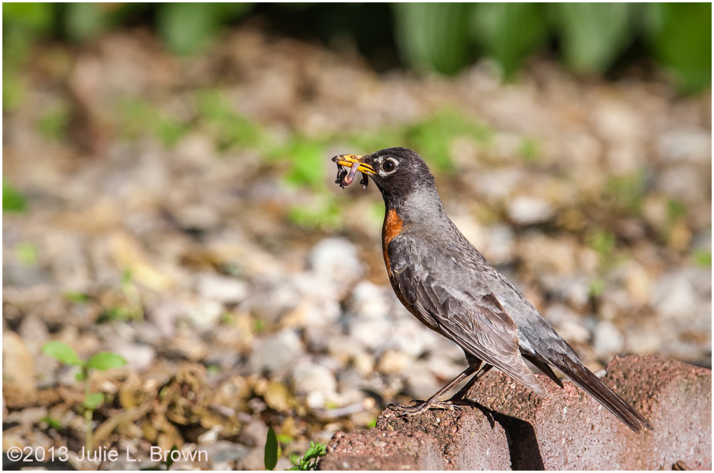 american robin with earthworm indianapolis