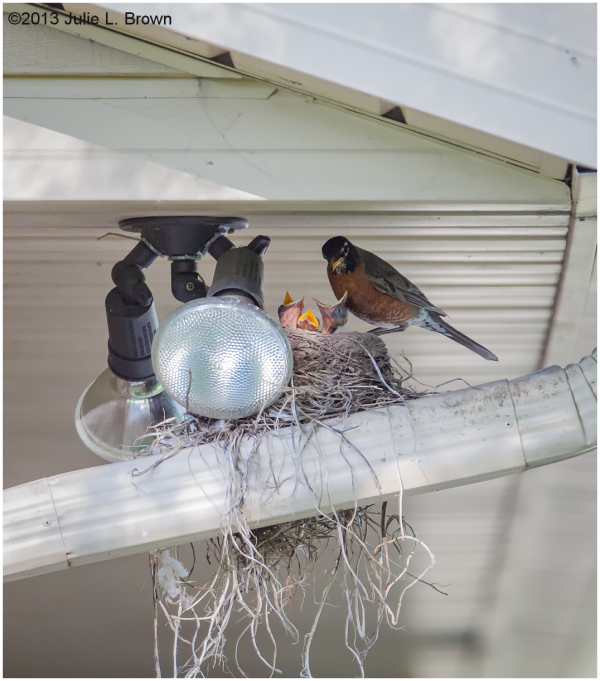 american robin feeding chicks in backyard nest