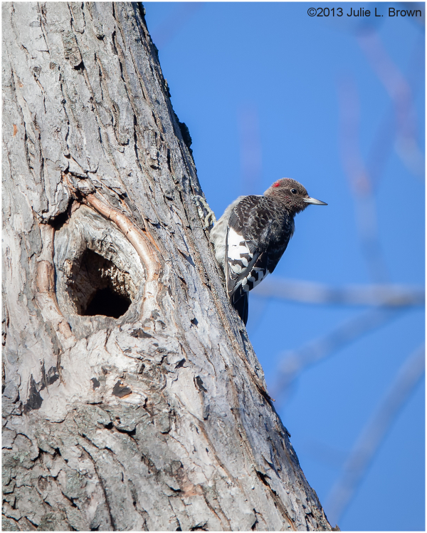 immature red-headed woodpecker foraging on maple