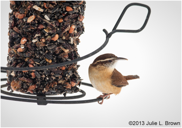 carolina wren at feeder indianapolis