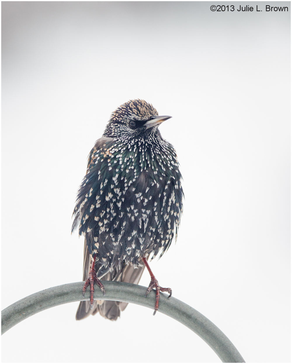 european starling at backyard feeder indianapolis