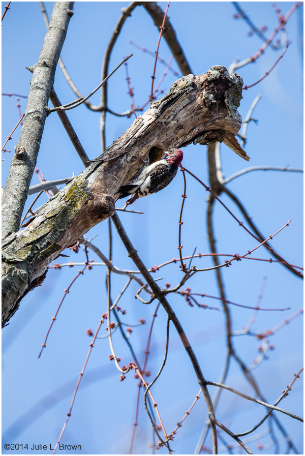 immature redheaded woodpecker in early spring