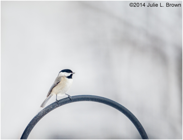 carolina chickadee on feeder indianapolis
