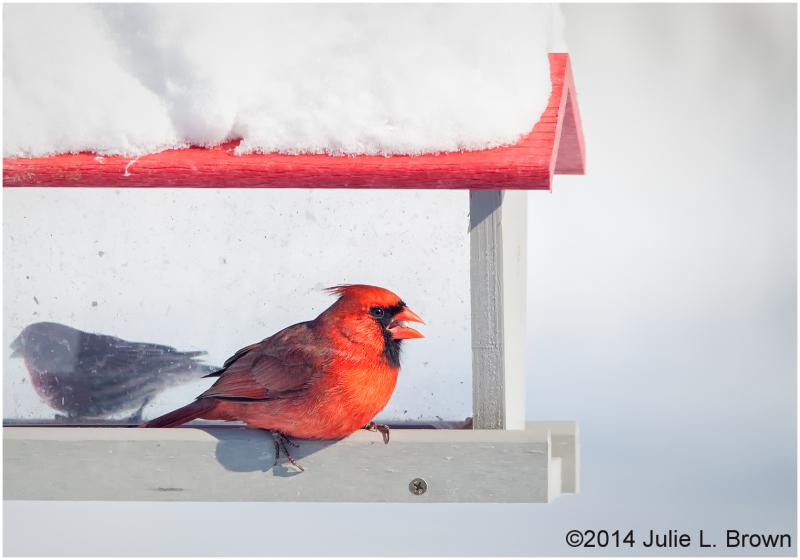 male northern cardinal at backyard feeder