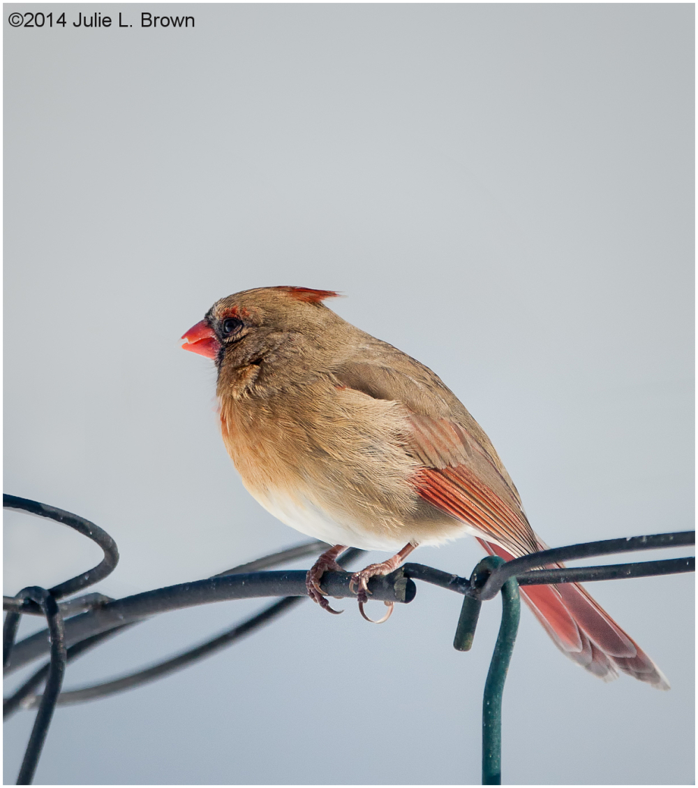 female northern cardinal at backyard feeder