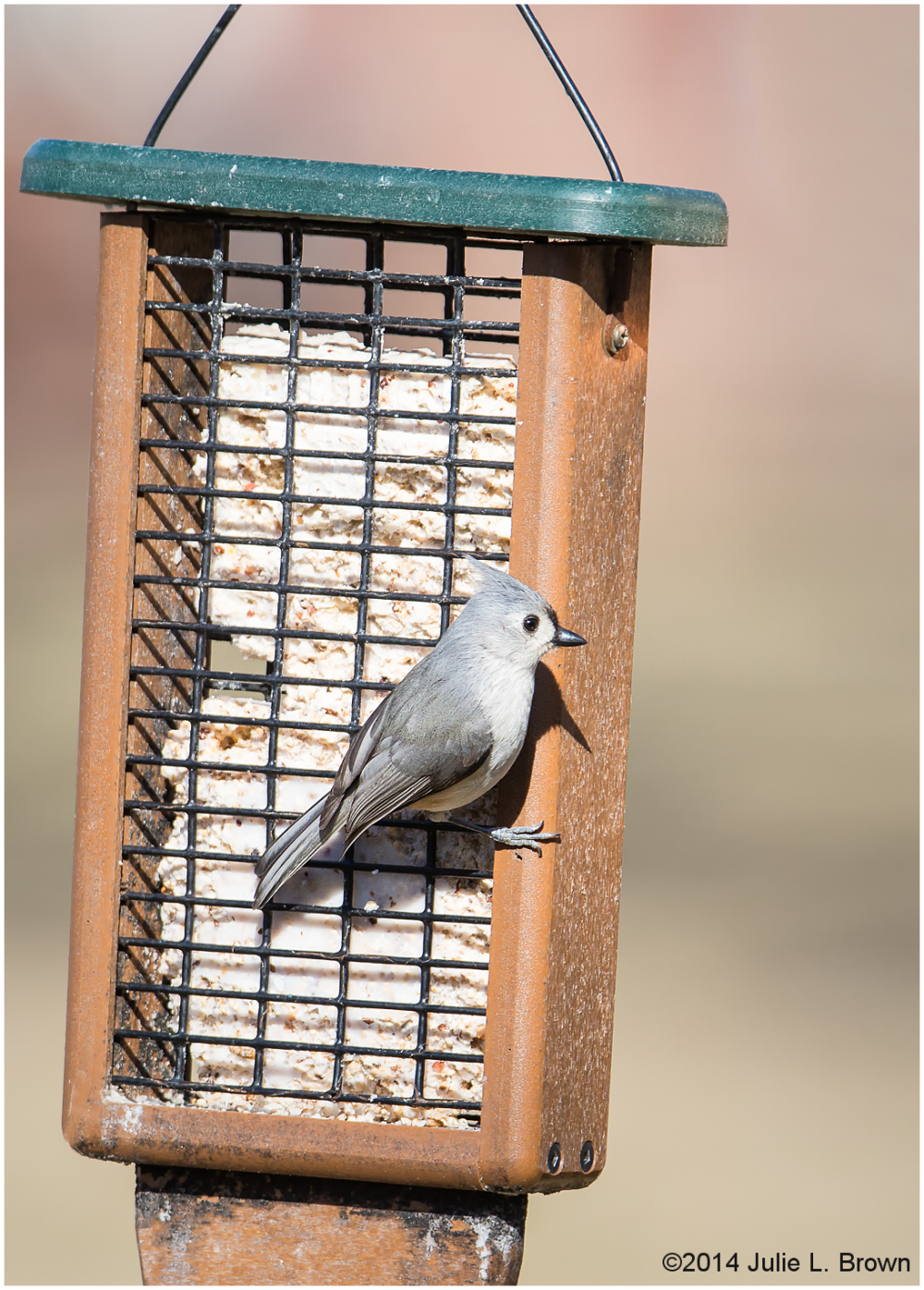 tufted titmouse at suet feeder backyard