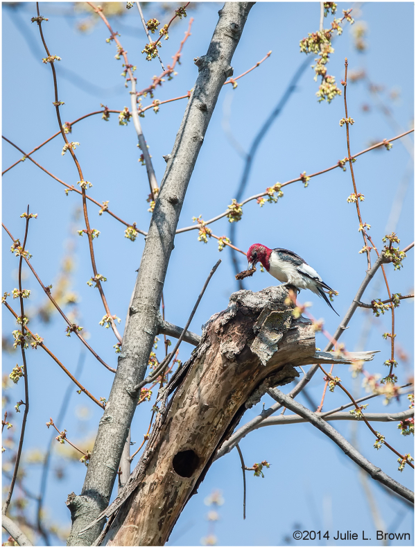 subadult redheaded woodpecker backyard indiana