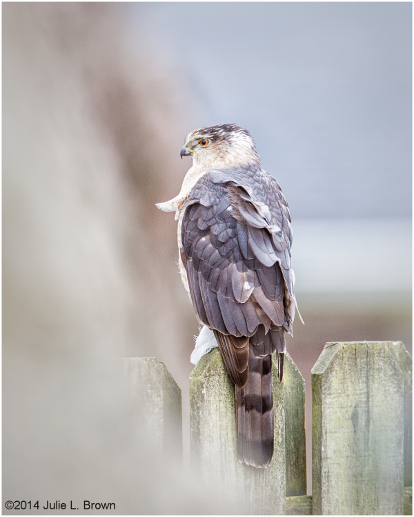 adult coopers hawk backyard fence indianapolis