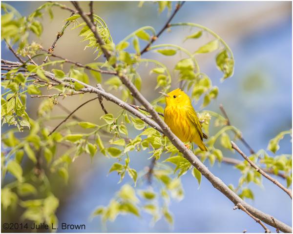 male yellow warbler breeding eagle creek park