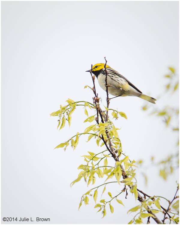 male black throated green warbler eagle creek park