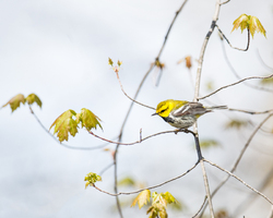 Black throated Green Warbler, breeding male 2