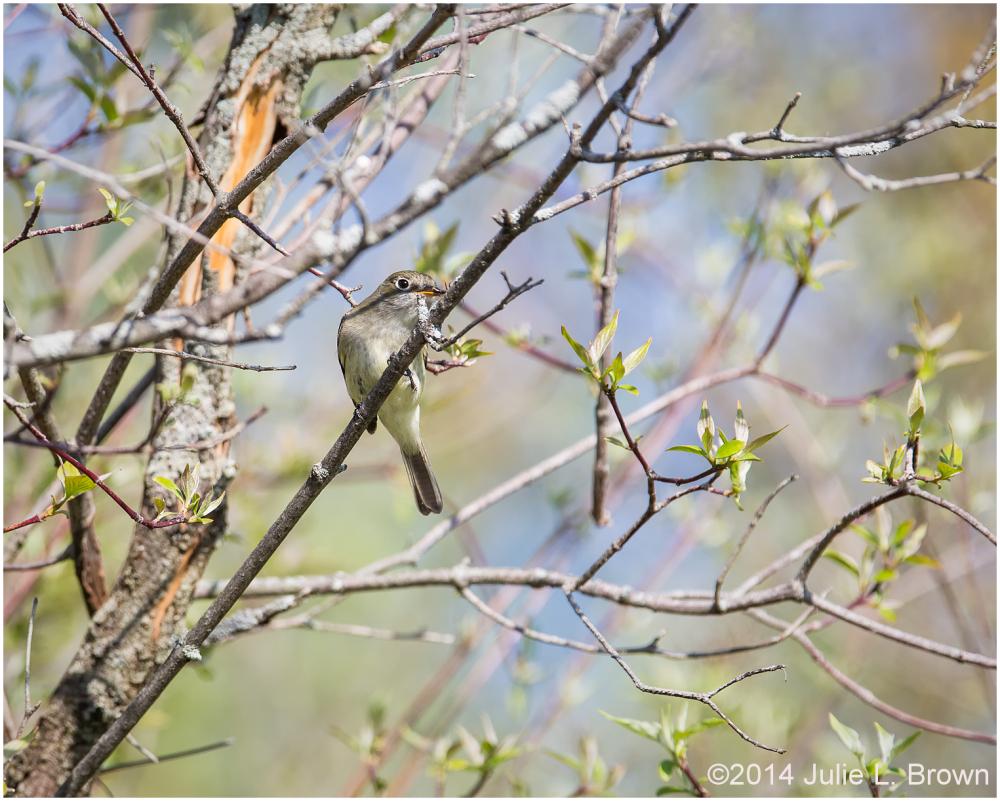 least flycatcher eagle creek park indianapolis