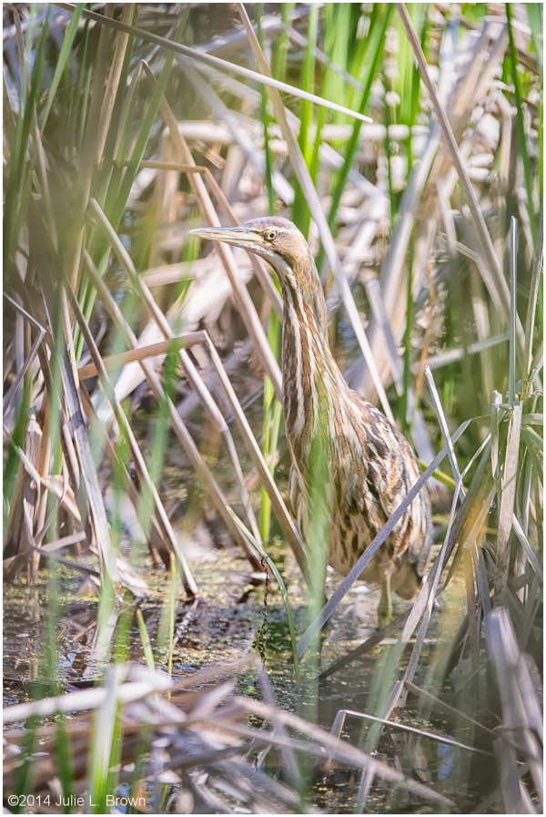 american bittern eagle creek park indianapolis