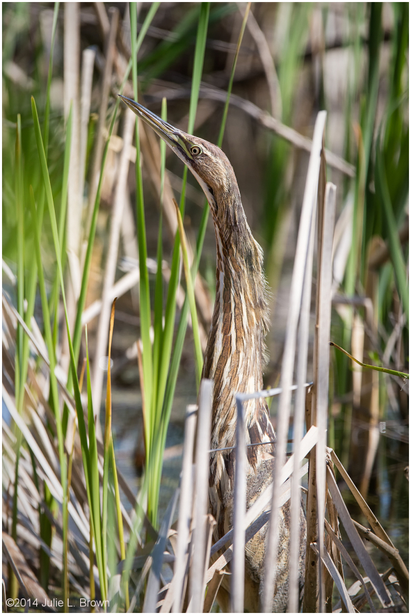 american bittern at eagle creek park indianapolis