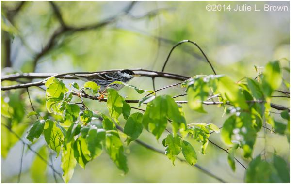 male blackpoll warbler breeding eagle creek park