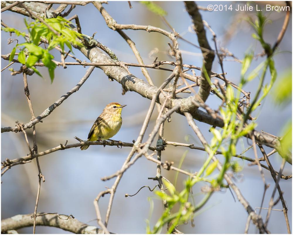 spring plumage palm warbler eagle creek park indy