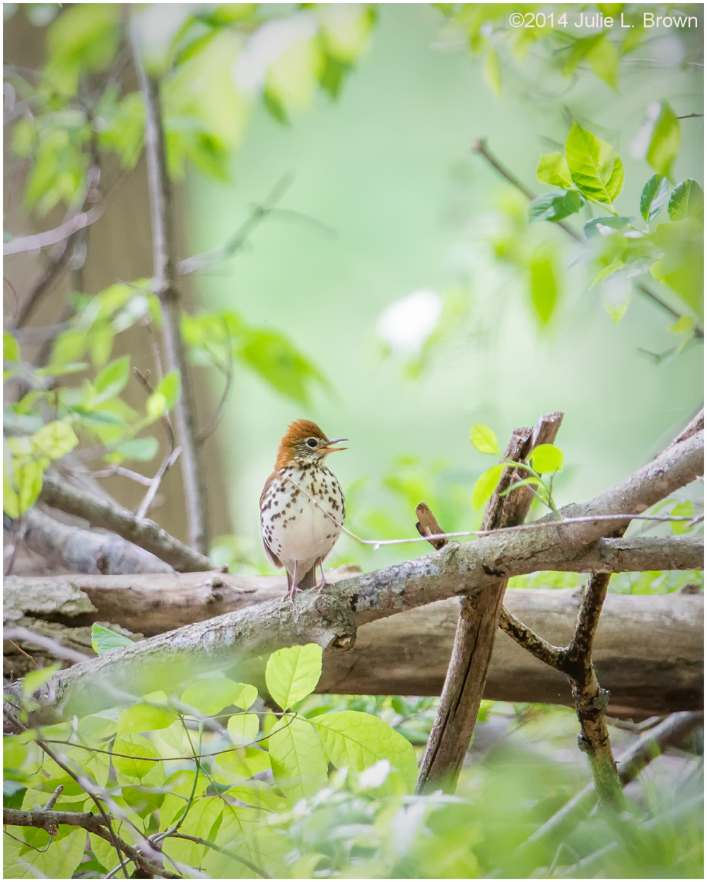 wood thrush fort harrison state park indianapolis