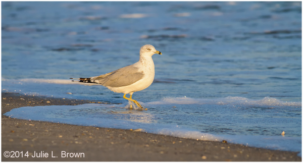 ring-billed gull beach cape may new jersey