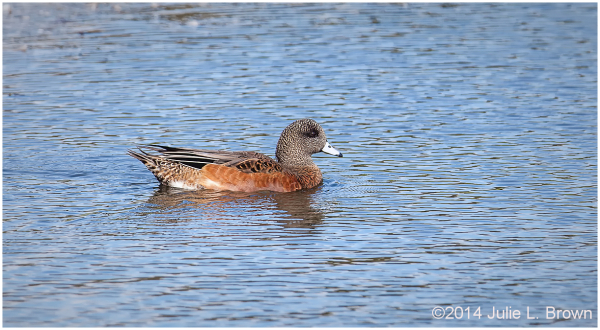 american wigeon female at cape may point SP