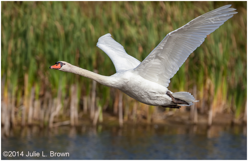 adult mute swan in flight cape may point SP