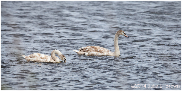 juvenile mute swan cape may point state park