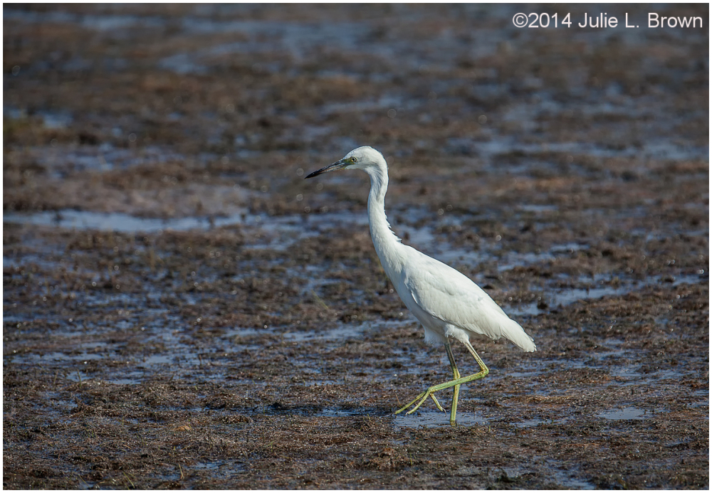 juvenile little blue heron cape may new jersey
