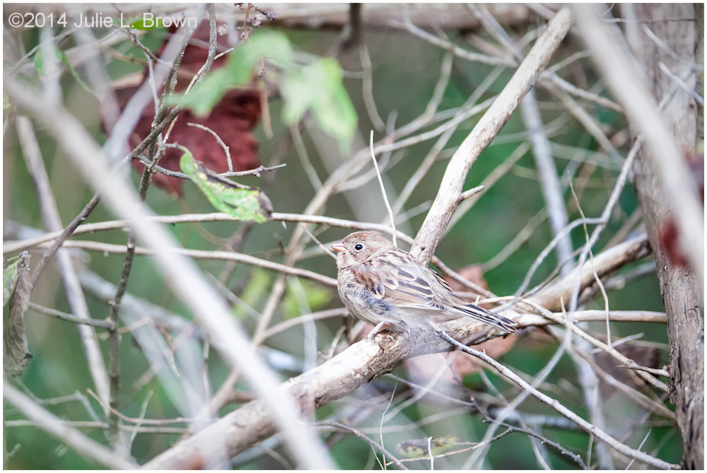 field sparrow cape may new jersey