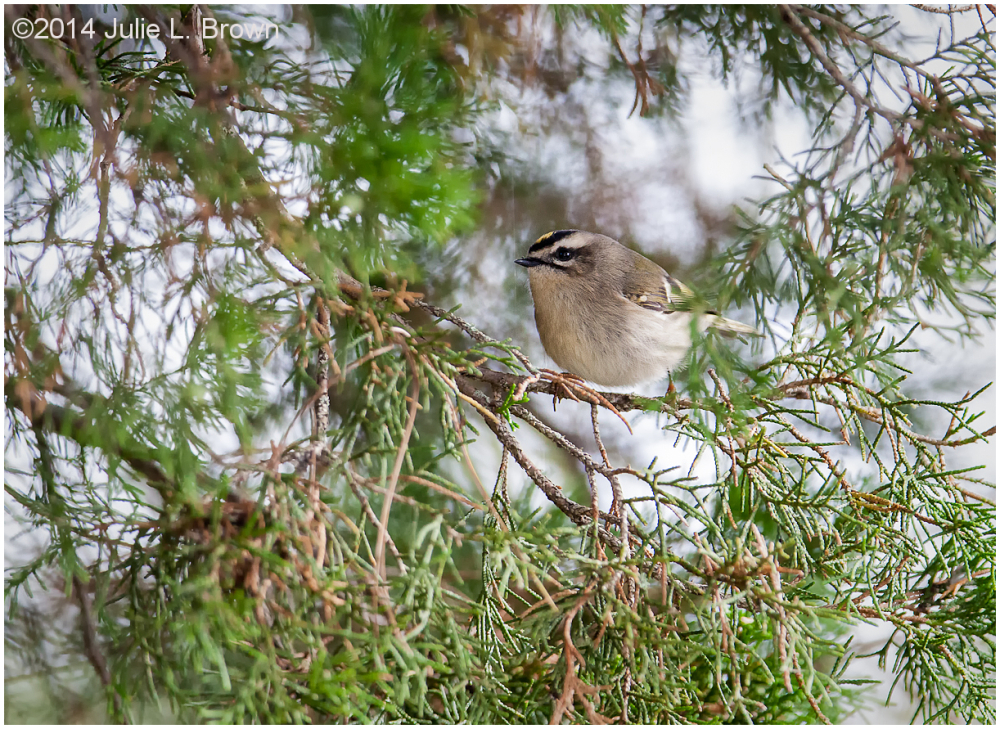 golden-crowned kinglet cape may new jersey