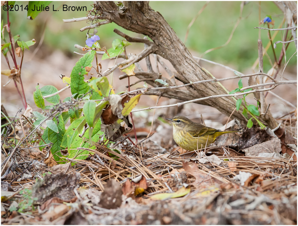 palm warbler cape may new jersey