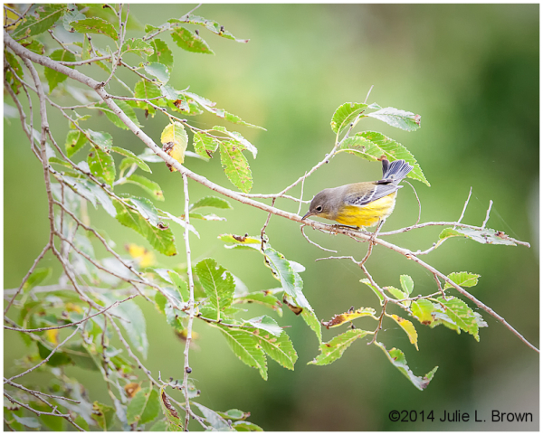 1st fall magnolia warbler cape may new jersey