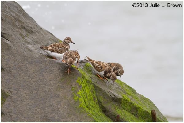 Ruddy Turnstone group, non breeding plumage